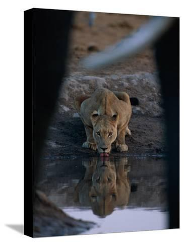 A Lioness Drinks from a Pool of Water-Beverly Joubert-Stretched Canvas Print