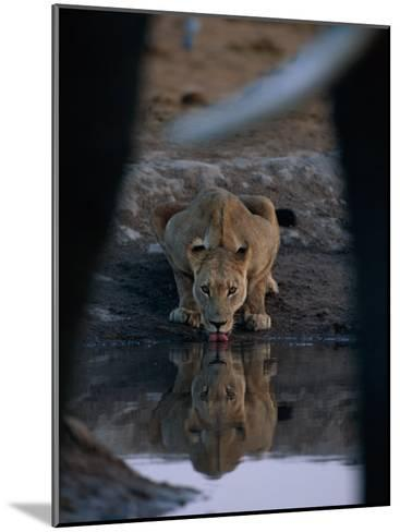 A Lioness Drinks from a Pool of Water-Beverly Joubert-Mounted Photographic Print