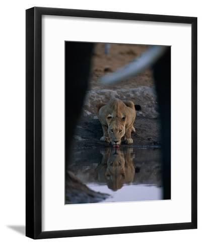 A Lioness Drinks from a Pool of Water-Beverly Joubert-Framed Art Print