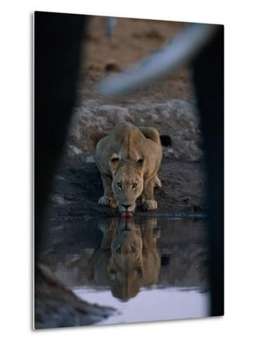A Lioness Drinks from a Pool of Water-Beverly Joubert-Metal Print