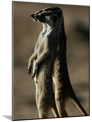 Three Suricates Survey the Landscape Around Their Burrows-Chris Johns-Mounted Photographic Print