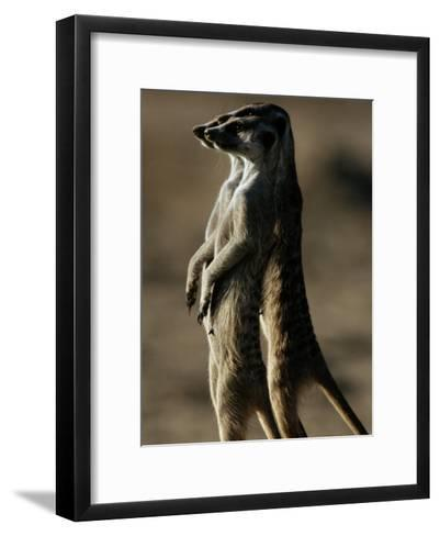 Three Suricates Survey the Landscape Around Their Burrows-Chris Johns-Framed Art Print