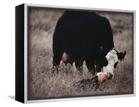 First Order of the Day for a Newborn Calf is a Wash by its Mother-Farrell Grehan-Framed Canvas Print
