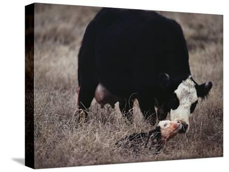 First Order of the Day for a Newborn Calf is a Wash by its Mother-Farrell Grehan-Stretched Canvas Print