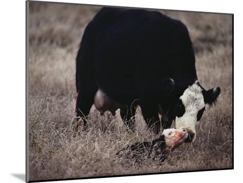 First Order of the Day for a Newborn Calf is a Wash by its Mother-Farrell Grehan-Mounted Photographic Print