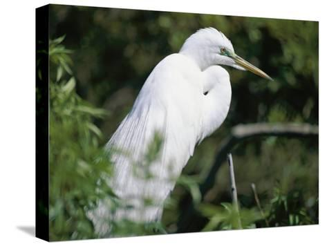 A Snowy Egret at a Rookery Connected to the Saint Augustine Alligator Farm-Stephen St^ John-Stretched Canvas Print