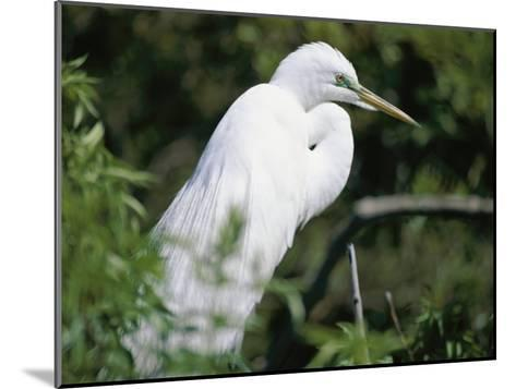 A Snowy Egret at a Rookery Connected to the Saint Augustine Alligator Farm-Stephen St^ John-Mounted Photographic Print