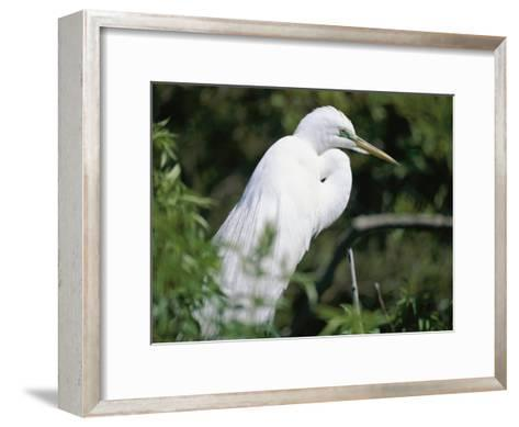 A Snowy Egret at a Rookery Connected to the Saint Augustine Alligator Farm-Stephen St^ John-Framed Art Print