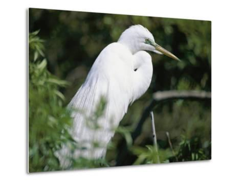 A Snowy Egret at a Rookery Connected to the Saint Augustine Alligator Farm-Stephen St^ John-Metal Print