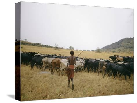 A Boy Tends to His Herd of Cattle-Joe Scherschel-Stretched Canvas Print