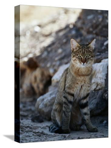 African Wildcat-Nicole Duplaix-Stretched Canvas Print