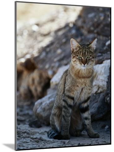 African Wildcat-Nicole Duplaix-Mounted Photographic Print