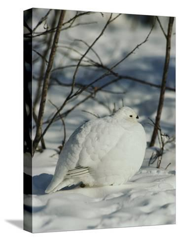 White-Tailed Ptarmigans Blending with the Snow-Michael S^ Quinton-Stretched Canvas Print