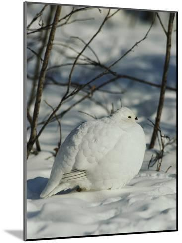 White-Tailed Ptarmigans Blending with the Snow-Michael S^ Quinton-Mounted Photographic Print