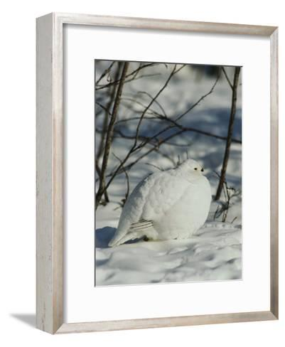 White-Tailed Ptarmigans Blending with the Snow-Michael S^ Quinton-Framed Art Print