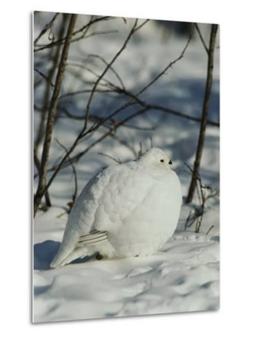 White-Tailed Ptarmigans Blending with the Snow-Michael S^ Quinton-Metal Print