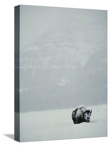 A Snow-Covered American Bison Stands on a Snowy Plain-Michael S^ Quinton-Stretched Canvas Print