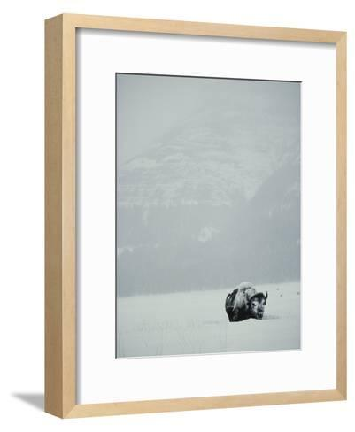 A Snow-Covered American Bison Stands on a Snowy Plain-Michael S^ Quinton-Framed Art Print