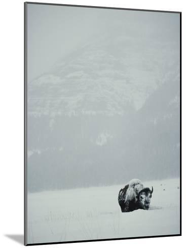 A Snow-Covered American Bison Stands on a Snowy Plain-Michael S^ Quinton-Mounted Photographic Print