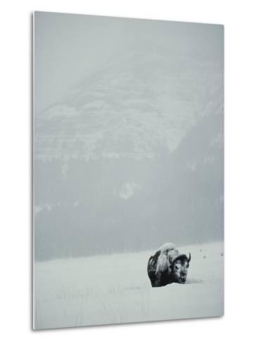 A Snow-Covered American Bison Stands on a Snowy Plain-Michael S^ Quinton-Metal Print