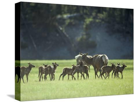 Cow Elk with Calves, Madison River Valley-Raymond Gehman-Stretched Canvas Print