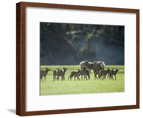 Cow Elk with Calves, Madison River Valley-Raymond Gehman-Framed Art Print