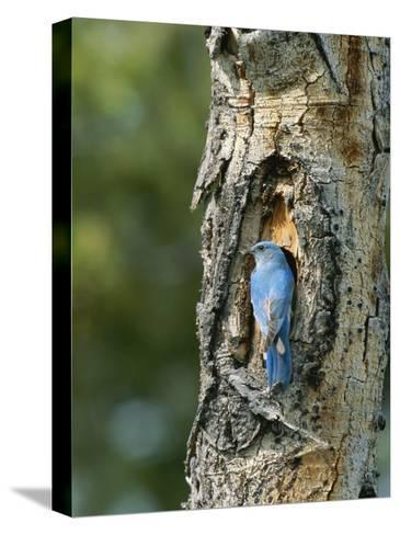 Mountain Bluebird at Nest on Tree Trunk-Norbert Rosing-Stretched Canvas Print