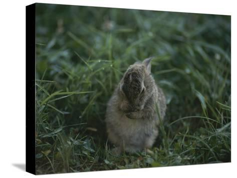 A Baby Cottontail Rabbit Washes its Face-George F^ Mobley-Stretched Canvas Print