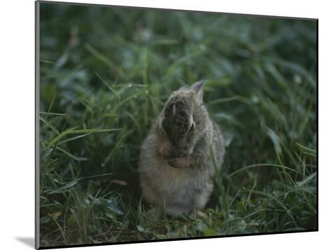 A Baby Cottontail Rabbit Washes its Face-George F^ Mobley-Mounted Photographic Print