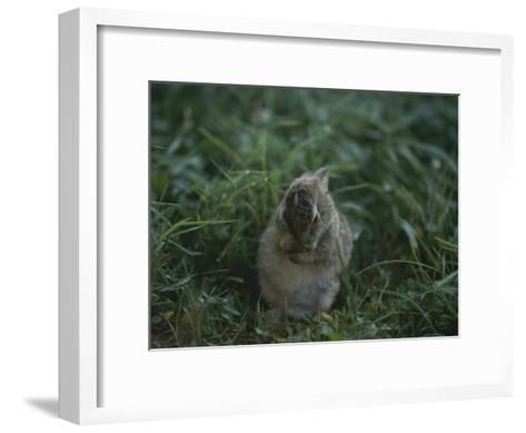 A Baby Cottontail Rabbit Washes its Face-George F^ Mobley-Framed Art Print