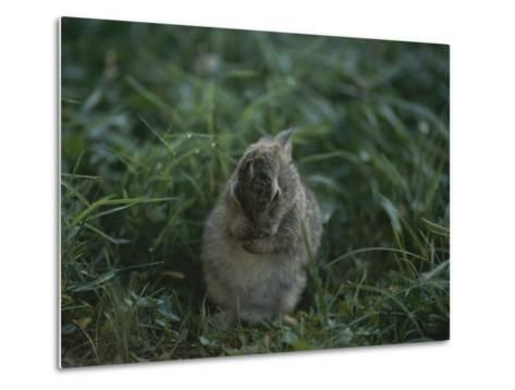 A Baby Cottontail Rabbit Washes its Face-George F^ Mobley-Metal Print