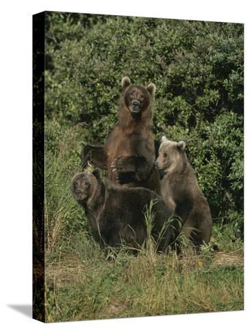 Group Portrait of Three Kodiak Brown Bears on Kodiak Island, Alaska-George F^ Mobley-Stretched Canvas Print