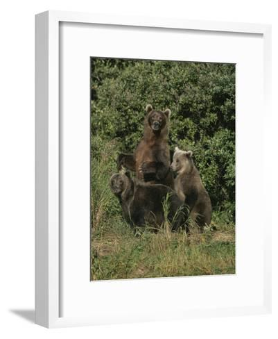 Group Portrait of Three Kodiak Brown Bears on Kodiak Island, Alaska-George F^ Mobley-Framed Art Print