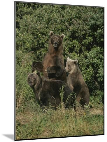 Group Portrait of Three Kodiak Brown Bears on Kodiak Island, Alaska-George F^ Mobley-Mounted Photographic Print