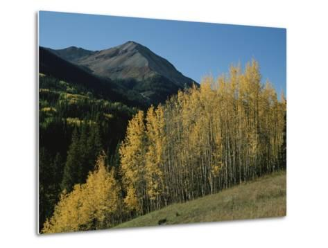 A View of Quaking Aspen Trees with Red Mountain in the Background-Marc Moritsch-Metal Print