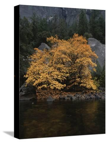 Autumn Foliage Decorates a Tree in Yosemite-Marc Moritsch-Stretched Canvas Print