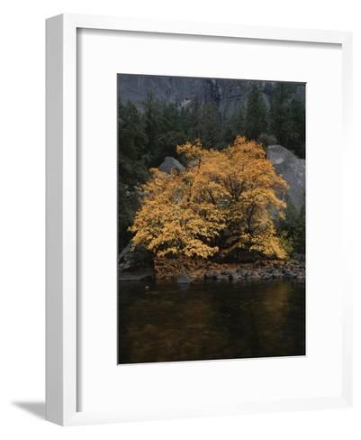 Autumn Foliage Decorates a Tree in Yosemite-Marc Moritsch-Framed Art Print