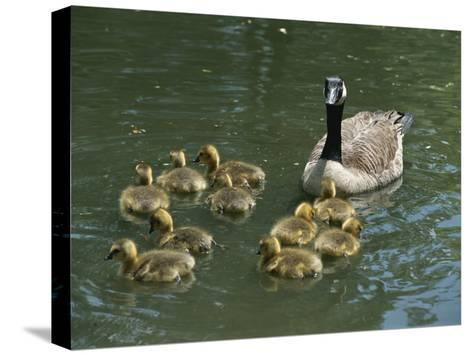 A Mother Canada Goose Watches over Ten Fuzzy Babies as They Swim-Stephen St^ John-Stretched Canvas Print