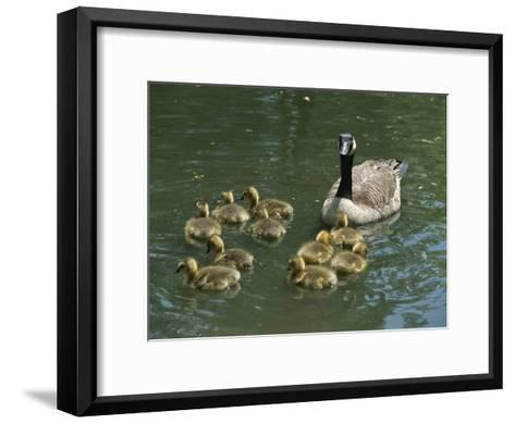 A Mother Canada Goose Watches over Ten Fuzzy Babies as They Swim-Stephen St^ John-Framed Art Print