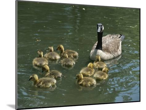 A Mother Canada Goose Watches over Ten Fuzzy Babies as They Swim-Stephen St^ John-Mounted Photographic Print