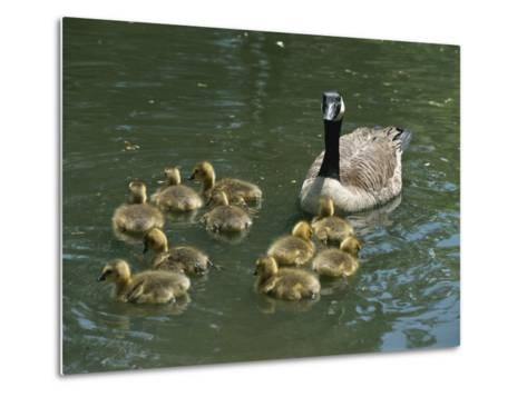 A Mother Canada Goose Watches over Ten Fuzzy Babies as They Swim-Stephen St^ John-Metal Print