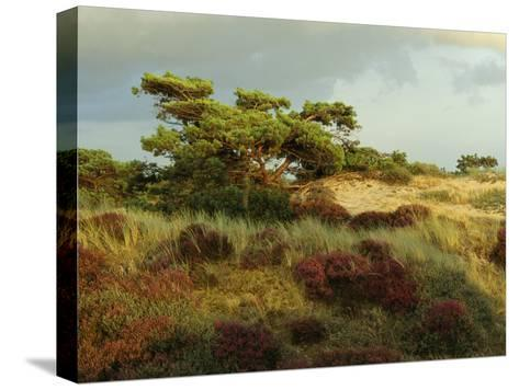 Heathland on the Island of Hiddensee in the East Sea-Norbert Rosing-Stretched Canvas Print