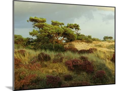 Heathland on the Island of Hiddensee in the East Sea-Norbert Rosing-Mounted Photographic Print