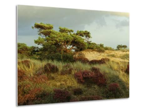 Heathland on the Island of Hiddensee in the East Sea-Norbert Rosing-Metal Print