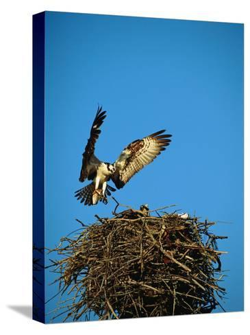 Osprey over Nest, Muritz National Park, Germany-Norbert Rosing-Stretched Canvas Print
