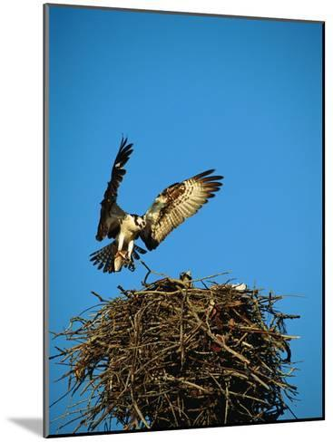 Osprey over Nest, Muritz National Park, Germany-Norbert Rosing-Mounted Photographic Print