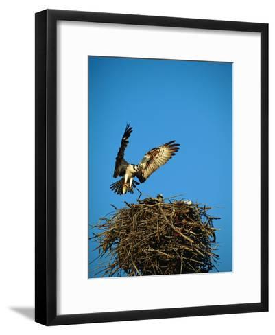 Osprey over Nest, Muritz National Park, Germany-Norbert Rosing-Framed Art Print