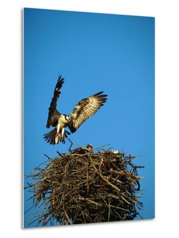 Osprey over Nest, Muritz National Park, Germany-Norbert Rosing-Metal Print