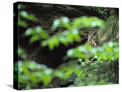 Owl in Woodland, Sachsische Schweiz National Park, Germany-Norbert Rosing-Stretched Canvas Print