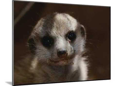 A Close View of a Meerkat (Suricata Suricatta) Pup-Mattias Klum-Mounted Photographic Print